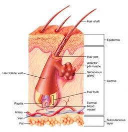 how stem cells grow hair follicles diagram